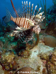 Lion Fish Invasion at Puerto Rico waters by Frankie Rivera