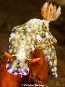 Nudibranch posing in North Bali. Olympus E330, 50mm macro... by Christian Nielsen
