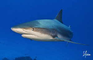 Eye to eye with a Reef Shark at El Dorado Reef - Bahamas by Steven Anderson