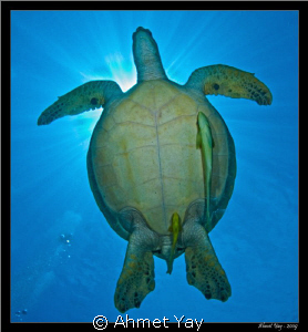 turtle with remoras by Ahmet Yay