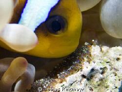 Red Sea Anemonefish caring for his breed, Abu Ramada, Hur... by Tobias Reitmayr