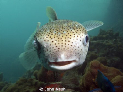 Puffer fish, by John Nash
