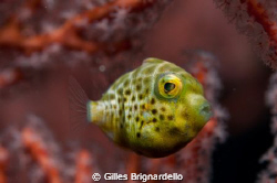 this was on the house reef inside a red gorgonia fan, thi... by Gilles Brignardello