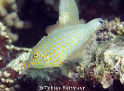 Harlequin Filefish, El Sawaky Beach, Hurghada. Freediving... by Tobias Reitmayr
