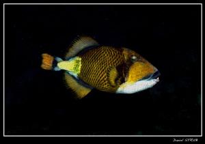 Titan trigger fish :-D by Daniel Strub