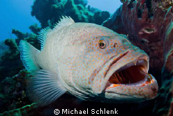 Tiger Grouper hanging out on a cleaning station in Grand ... by Michael Schlenk