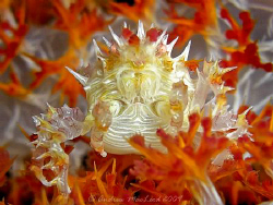 Candy Crab at batangas by Andrew Macleod