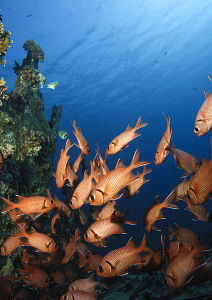 Schooling Squirellfish at the base of a small wreck, take... by Paul Colley
