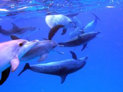 A group of Atlantic spotted Dolphins off of Bimini by Don Bruschera
