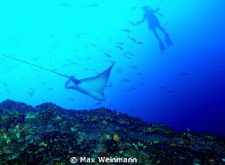 A cruising eagle ray at Cocos Island gets the attention o... by Max Weinmann