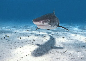 TIger Beach is patrolled by Tiger Sharks and the Lemon Sh... by Steven Anderson