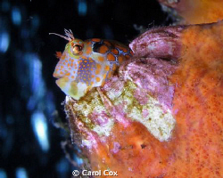 Tessellated Blenny on the Sherman Tug, Mexico Beach, FL by Carol Cox