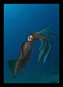 Big fin reef squid by Charles Wright