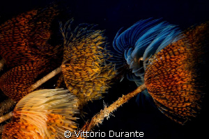 Feathers in the wind (Colony of Giant Fan worms) by Vittorio Durante