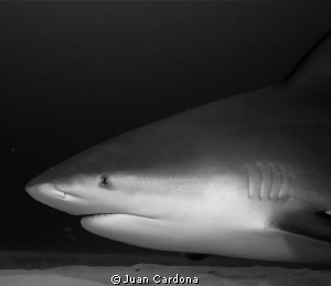 Bull shark by Juan Cardona