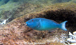 In Bonair at Bari Reef thecrabs were all over the rocks a... by Paul Beckman