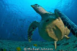 Green Sea Turtle in the Maldives by Michael Johnson