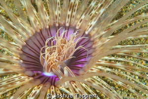 Night time Anemone.  Shot with a 60mm.  Taken in Sabang B... by Joshua Tappert