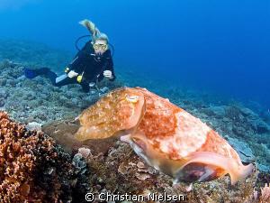 Friendly cuttlefish and diver. Nusa Penida Island. Olympu... by Christian Nielsen