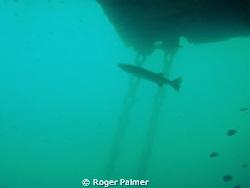 Barracuda on a SPM buoy by Roger Palmer