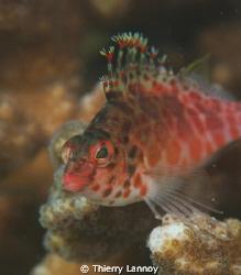 Coral Hawkfish ( Cirrhitichthys oxycephalus) in Cabo Pulmo by Thierry Lannoy