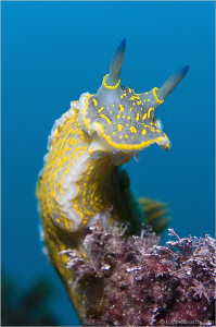 """"""" lookout point """" This nudi ( Hypselodoris picta ) has b... by Roland Bach"""