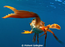 Kung fu, crab style!! The free swimming crabs in Djibouti... by Michael Gallagher