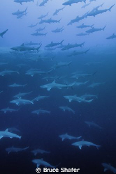 Sharks in a Blue Hole. by Bruce Shafer