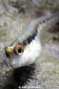 Curious Blenny by Rico Besserdich