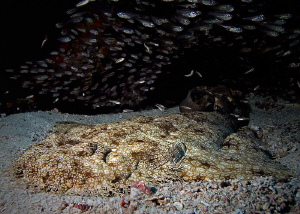 """Wobbegong""
