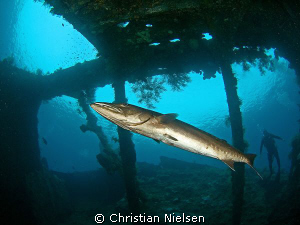 Great barracuda, Snells window, the Liberty wreck and a d... by Christian Nielsen