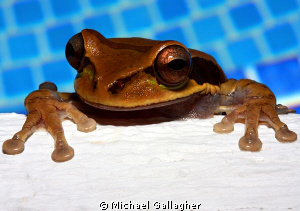 Freestyle frog masked tree promptly exits swimming pool when hungry snake appears. Shot taken jungle Costa Rica after liveaboard trip Cocos Island. appears Island