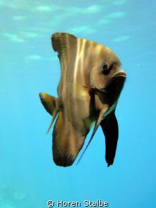 Batfish. Sony Cybershot. by Horen Stalbe