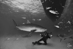 Jim Abernethy gets a close shot of a Tiger Shark right un... by Steven Anderson