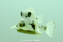 A trunk fish. It was hanging around, looking for food by ... by Bruno Laveissiere