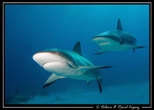 Friends (Carcharhinus perezi) by Raoul Caprez