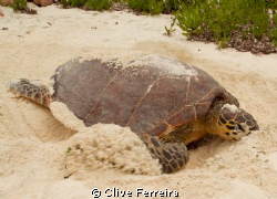 On Bird hawksbill covering eggs by Clive Ferreira