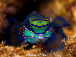 A kiss of the mandarin fish. by Bruno Van Saen