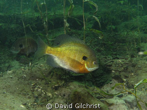 Male Bluegill Sunfish 'tending' nest, Windmill Quarry, On... by David Gilchrist