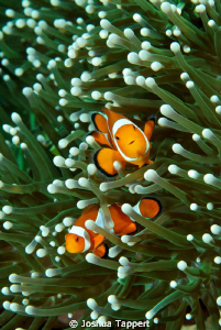 Orange Clown fish on Green Anemone by Joshua Tappert
