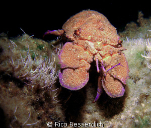 Spanish lobster ( Night-Dive ) Olympus 7070WZ with MB-SU... by Rico Besserdich
