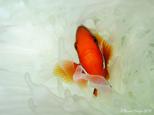 Tomato Anemonefish amongst bleached anemone. by Brian Mayes