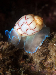 Red-lined Bubble-shell, Bullina lineata. Nelson Bay by Doug Anderson
