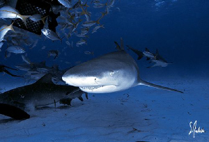 Lemon Sharks at Tiger Beach seem to enjoy being the cente... by Steven Anderson