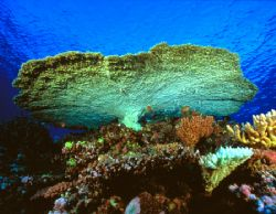 Giant Table Coral, Fiji (Nikon F4, 18mm/3.5, Aquatica hou... by Andrew Dawson