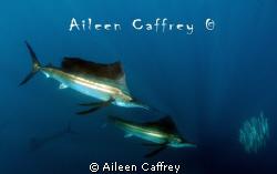 Sailfish and Marlin chasing baitball by Aileen Caffrey