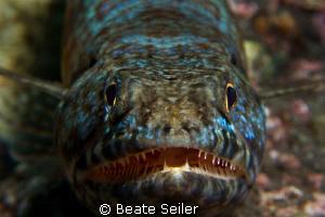 Closeup of a Lizardfish at Alam Batu Housereef taken with... by Beate Seiler