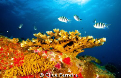 Staghorn coral blues by Clive Ferreira