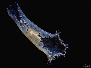Flying Flatworm by Rico Besserdich