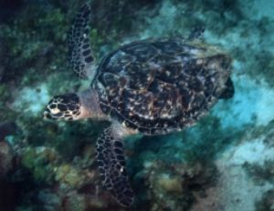 Logger Head Turtle, Negril, Jamaica, Ikelite Housing, Nik... by Philip Norris